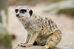 Un Meerkat Photographie stock
