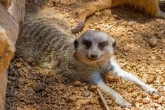 Un Meerkat che mostra un'espressione molto inquisitrice Immagine Stock Libera da Diritti