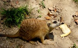 Un Meerkat che si siede sulla terra Fotografie Stock