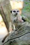 Meerkat che sta dritto e che sembra attento Fotografia Stock