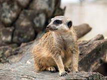 Un meerkat che sta sul legname e che guarda per esaminare intorno Fotografia Stock