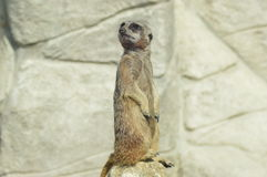 Un meerkat curieux Photos libres de droits