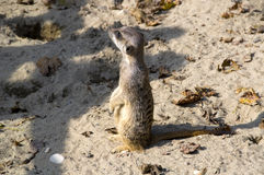 Un meerkat dans le sable Photographie stock