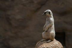 Un Meerkat de pensée Images stock