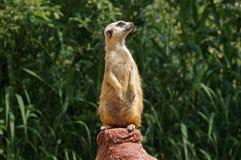 Un meerkat en el puesto de observación imagenes de archivo