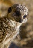 Un Meerkat en el reloj Fotos de archivo