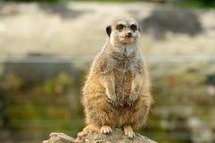 Un Meerkat grasso Fotografie Stock Libere da Diritti