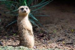 Un meerkat mientras que se coloca y es vigilante del ambiente imágenes de archivo libres de regalías
