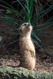 Un meerkat mientras que se coloca y es vigilante del ambiente imagen de archivo