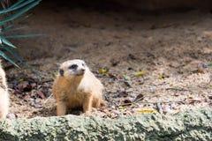 Un meerkat mientras que se coloca y es vigilante del ambiente fotos de archivo libres de regalías