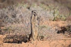 Un meerkat mignon dans le désert d'Oudtshoorn, Afrique du Sud photos stock