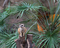 Un Meerkat nello zoo Immagini Stock