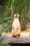 Un Meerkat que se coloca en una rama que guarda su territorio foto de archivo libre de regalías