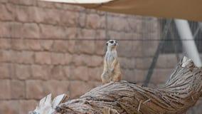 Un meerkat que se destaca y que cuelga en las rocas en el desierto que mira alrededor para el suricatta del Suricata de la protec metrajes