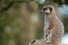 Un Meerkat que se sienta solamente Imagenes de archivo
