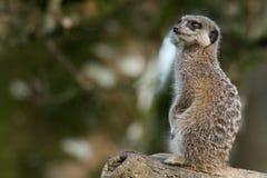 Un Meerkat que se sienta solamente Imágenes de archivo libres de regalías