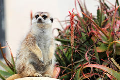 Un meerkat regardant autour Image stock