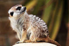 Un meerkat regardant autour Photos stock