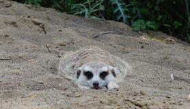 Un Meerkat se situant à plat dans le sable image libre de droits