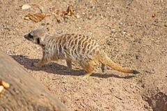 Un Meerkat sul movimento Immagini Stock