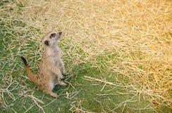 Un Meerkat sveglio che sta da solo su un'erba verde Fotografia Stock Libera da Diritti