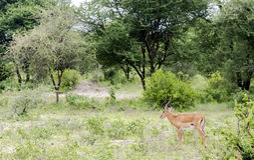 Un melampus negro-hecho frente masculino del Aepyceros de los antílopes del impala Foto de archivo