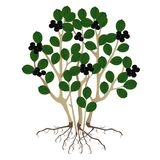 Un melanocarpa et racines d'Aronia de chokeberry de noir de buisson sur un fond blanc Image stock