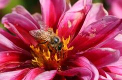 Un mellifera abbastanza occupato di Honey Bee Apis che nectaring su un fiore della dalia fotografie stock