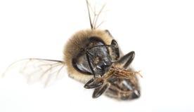 Un mellifera de los apis de la abeja Imágenes de archivo libres de regalías