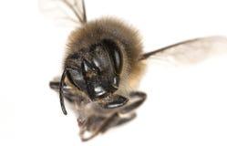 Un mellifera de los apis de la abeja Fotografía de archivo libre de regalías