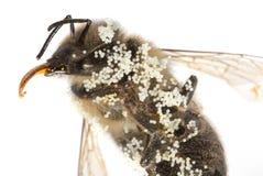 Un mellifera de los apis de la abeja con polen Imagen de archivo