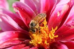 Un mellifera grazioso di Honey Bee Apis che nectaring su un fiore della dalia fotografia stock