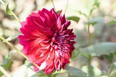 Un membre rouge de la fleur A de dahlia de l'Asteraceae ou du Compositae dicotyl?done, un genre des plantes vivaces touffues, tub image stock