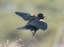 Un merle à ailes rouges de chant de mâle Images stock