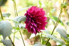 Un miembro rojo de la flor A de la dalia del Asteraceae o del Compositae dicotiledoneo, un género de plantas perennes espesas, tu imagenes de archivo