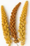 Un miglio giallo di due ramoscelli e un ramoscello di miglio giallo Fotografie Stock Libere da Diritti