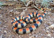 Un mimo del serpente di corallo, serpente occidentale di Shovelnose Fotografia Stock Libera da Diritti