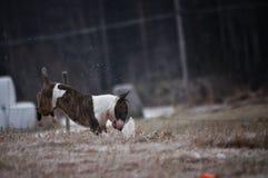 Un mini chien de bull-terrier se tenant sur une roche Photos stock