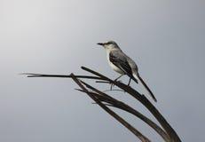 Un Mockingbird hermoso fotografía de archivo libre de regalías