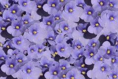 Un modèle de fleur des violettes Images libres de droits