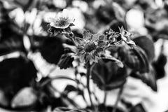 Un modello floreale in bianco e nero sui precedenti vaghi fotografie stock