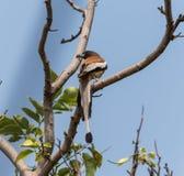 Un moineau brun image stock