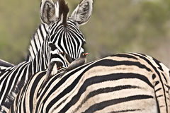 un moment tendre pour deux zèbres dans le buisson, parc national de Kruger, Afrique du Sud Images stock