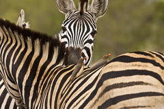 un momento blando para dos cebras en el arbusto, parque nacional de Kruger, Suráfrica Foto de archivo libre de regalías