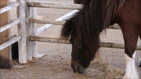 Un momento de reclinación enano marrón lindo del caballo en una granja almacen de video