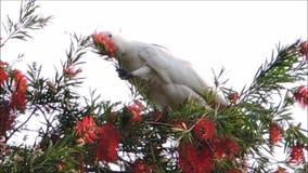 Un momento lindo del pájaro de la cacatúa en el árbol y la consumición de la flor roja del cepillo de botella en una estación de  almacen de metraje de vídeo