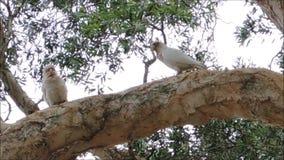 Un momento precioso de cacatúa de Tanimbar Corella de los pares en el árbol grande en Sydney Centennial Park metrajes