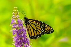Un monarca Immagini Stock