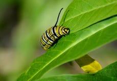 Un monarca futuro fotografia stock libera da diritti