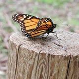 Un monarca que asolea Imagen de archivo